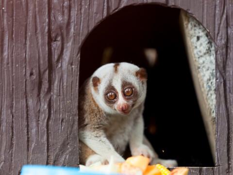 スローロリス 動物園