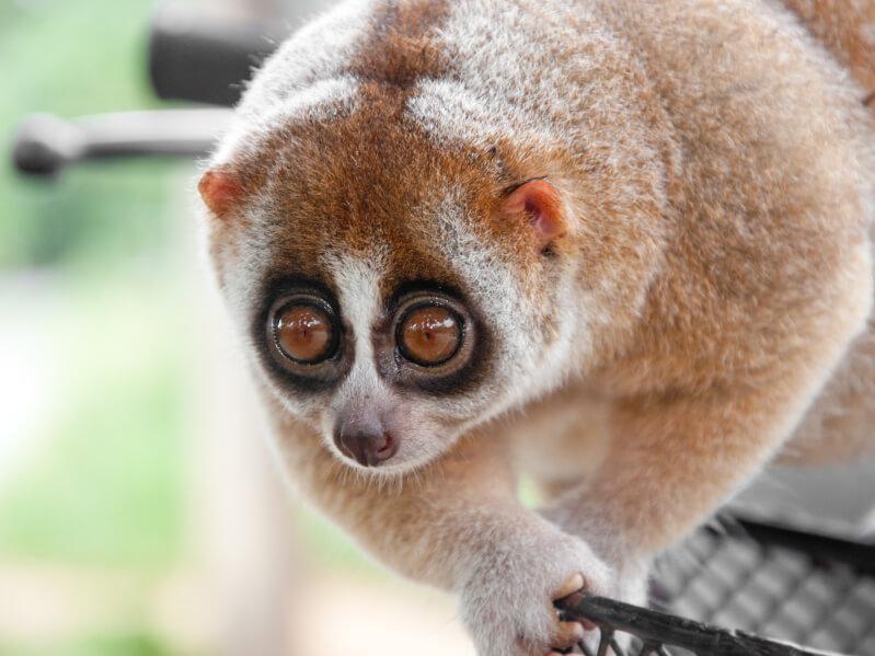 スローロリスはペットに出来る?スローロリスの種類、値段、飼い方などを解説 | Petpedia