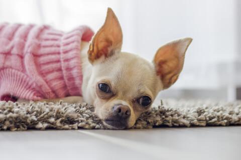 ピンクのセーターを着たスムースコートチワワ