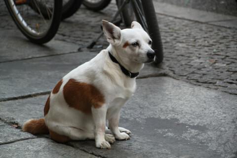 犬 肛門腺