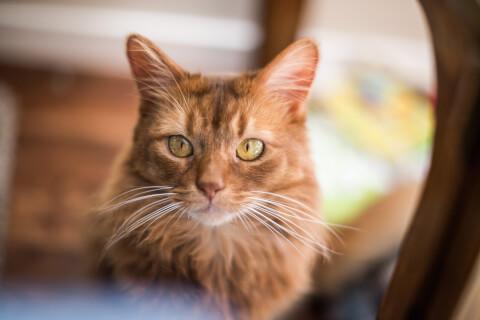 ソマリ 猫 性格 大きさ 特徴 値段 飼い方