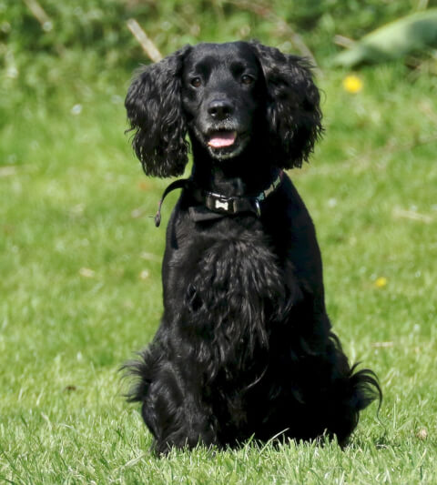 English Cocker Spaniel4