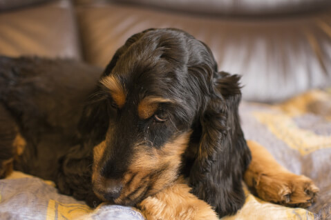 English Cocker Spaniel7