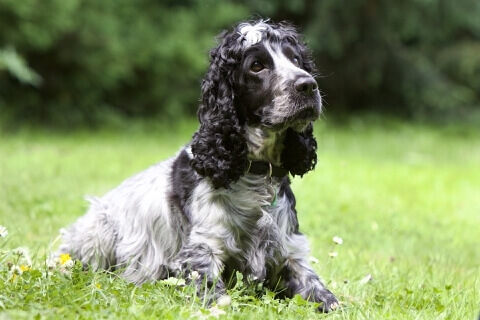 English Cocker Spaniel2