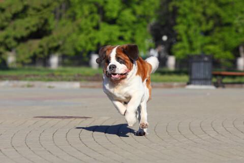 セントバーナード 値段 性格 体重 子犬 樽