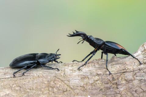 ノコギリクワガタ 種類 メス 寿命 値段 幼虫 飼育