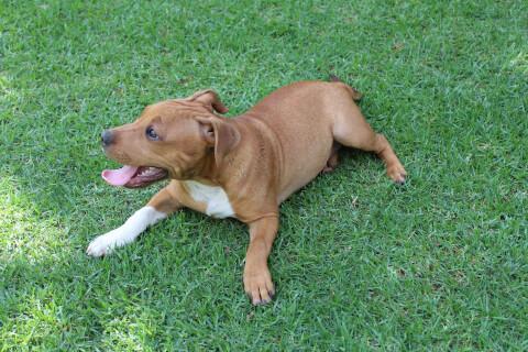 芝生に伏せる茶色いスタッフィーの子犬