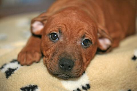 ブランケットとスタッフィーの茶色い子犬