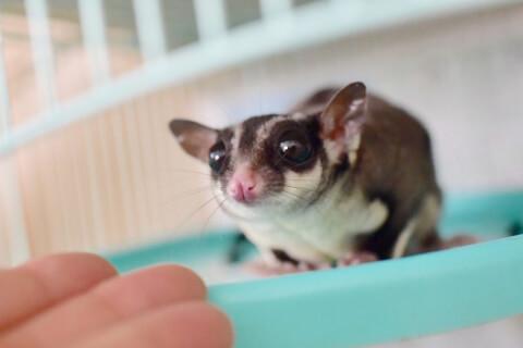 フクロモモンガ 小動物 ペット