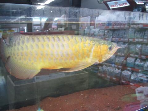 水温計 古代魚