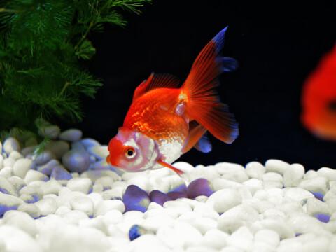 水温計 金魚