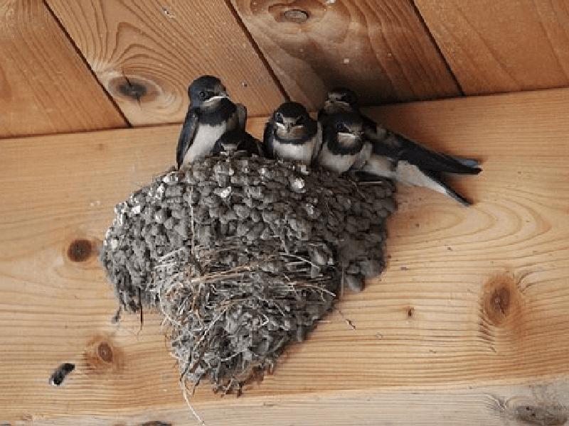 ツバメ 渡り鳥