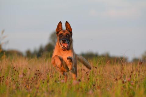 マリノア シェパード ジャーマン 種類 性格 白 黒 警察犬