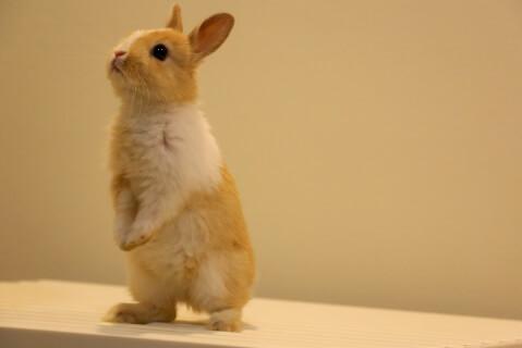 立っているウサギ
