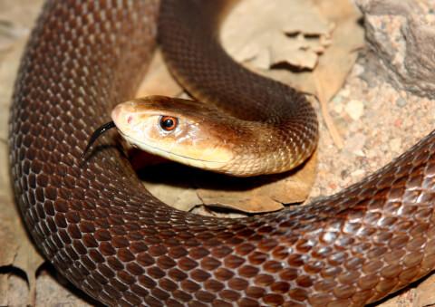 コブラ 蛇 種類 特徴 模様 毒 日本 タイパン