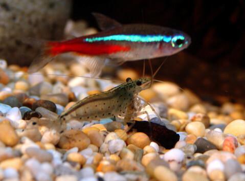 freshwatershrimp