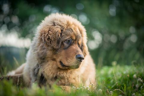 チベタンマスティフ 強さ 大きさ ライオン 日本 値段