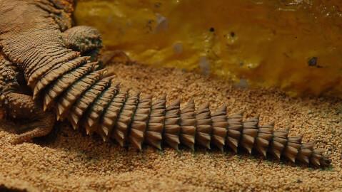 トゲオアガマの尻尾アップ