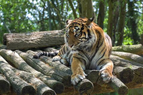 木材の上にいるトラ
