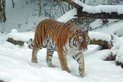 雪の中を歩くトラ