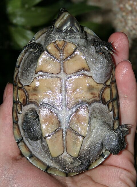 tortoise_belly