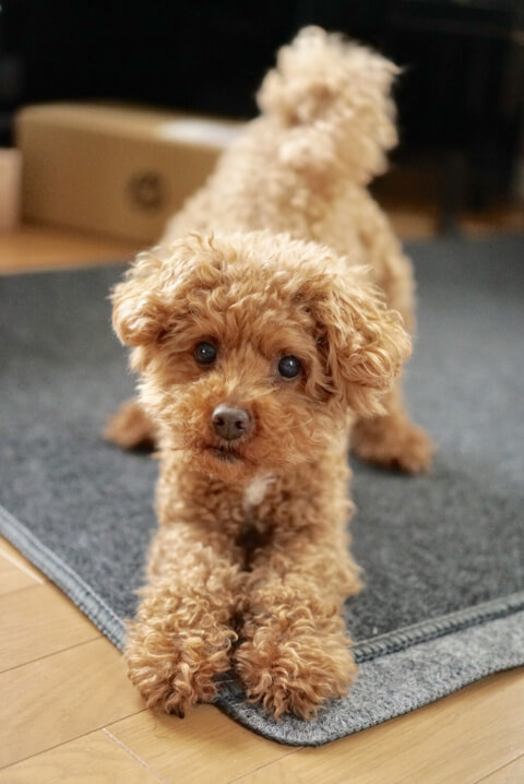 toy_poodle_staring_at_owner