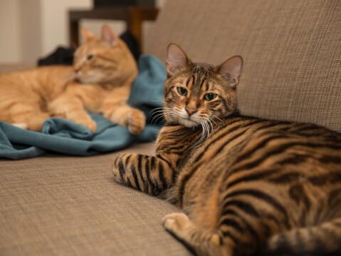 トイガー 猫 ソファー