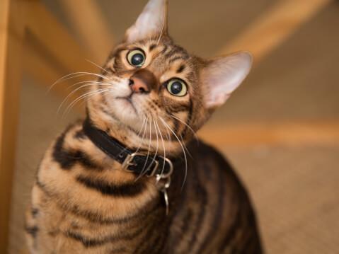 トイガー 猫 性格