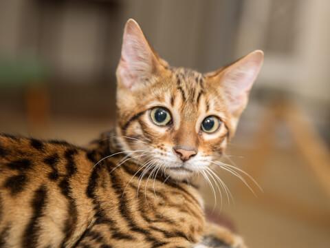 トイガー 猫