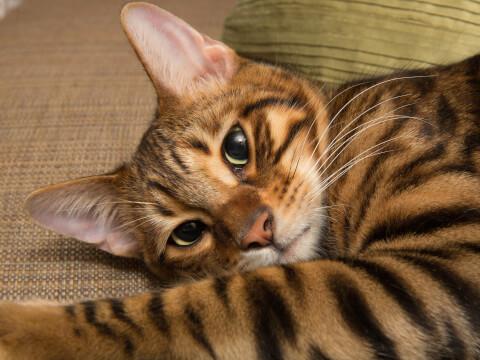トイガー 猫 ブラウンマッカレルタビー