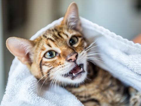トイガー タオル 子猫