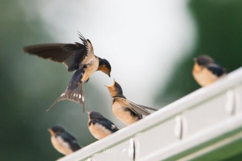 4羽のヒナと親鳥ツバメ