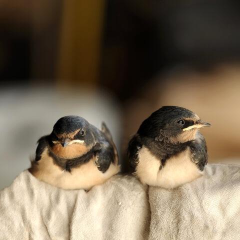 ツバメ  保護 巣立ち 巣 時期 寿命 種類