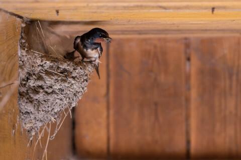 口に虫をくわえて巣にとまる親ツバメ