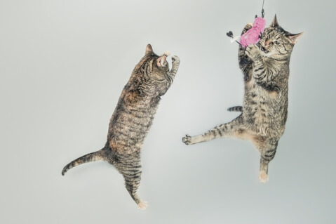 two_cat_jumping