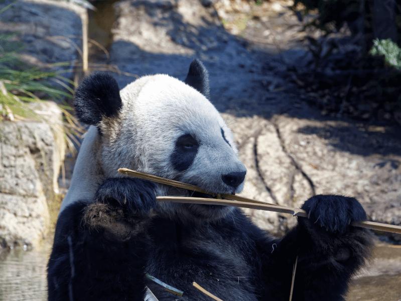 パンダ 上野 動物園