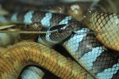 コブラ 蛇 種類 特徴 模様 毒 日本 エブラウミヘビ