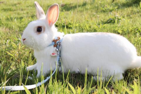 ハーネスをつけた白いミニウサギ
