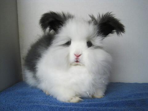 こちらを見るアンゴラウサギ