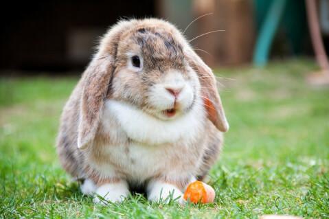 ウサギ_ロップイヤー
