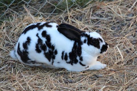ウサギ_レッキス