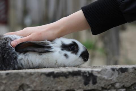 撫でられるウサギ
