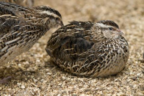 うずら 寿命 鳥 雄 メス 短い 野生