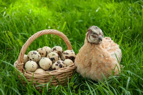 うずら ペット 飼い方 餌 値段 孵化