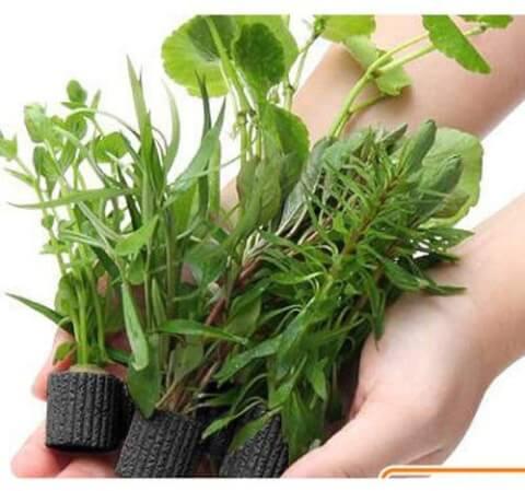 無農薬水草 マルチリング・ブラック おまかせ 5茎