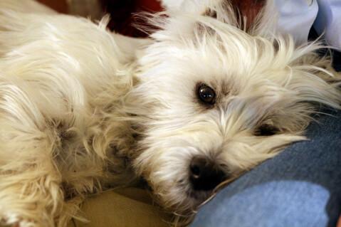 west-highland-white-terrier_0