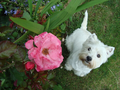 west-highland-white-terrier_1