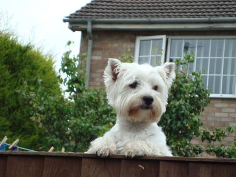 west-highland-white-terrier_2