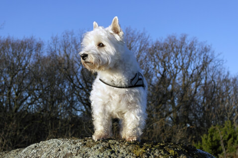 west-highland-white-terrier_4
