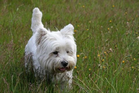 west-highland-white-terrier_5